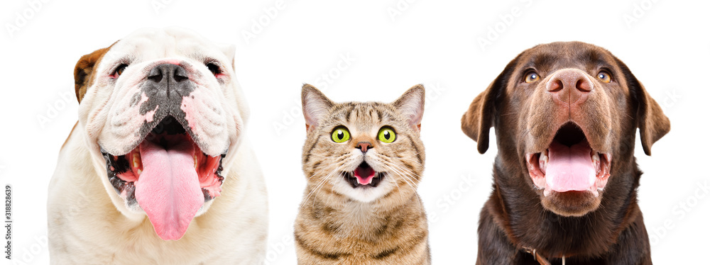 Fototapeta Portrait of  funny English Bulldog, cat Scottish Straight and Labrador, closeup, isolated on a white background