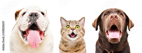 Portrait of  funny English Bulldog, cat Scottish Straight and Labrador, closeup, isolated on a white background