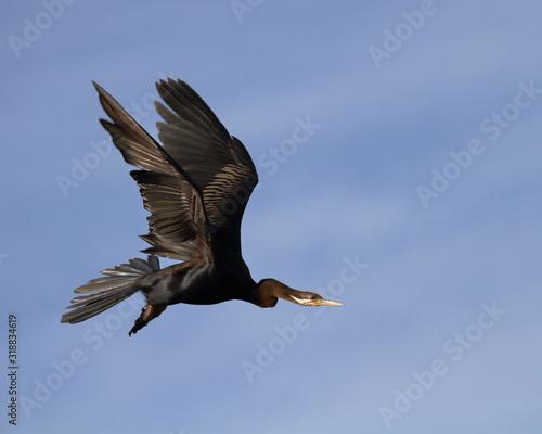 Obraz na plátne Male Australasian Darter in flight