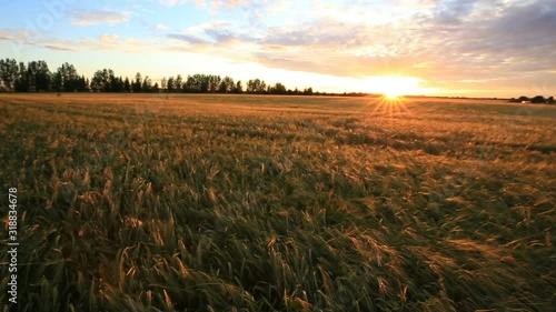 Fotomurales - Bright sunset sky with cirrus over a wheat field. Rural summer landscape. Beauty nature, agriculture and seasonal harvest time.