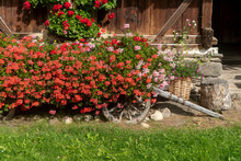 Many Red Flowers Of Geraniums ...
