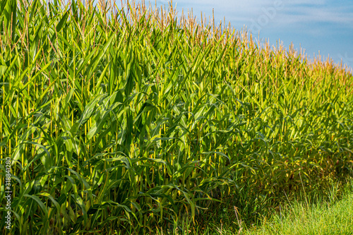 Fotografie, Obraz Anbau von Mais als nachwachsender Rohstoff