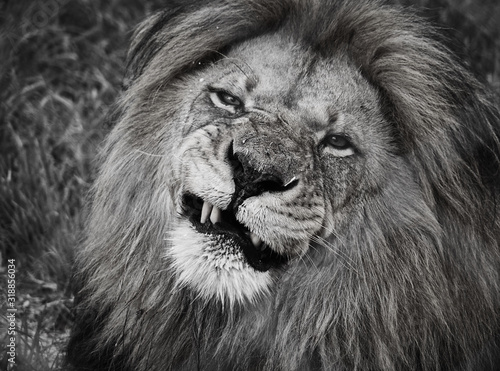 Fototapety, obrazy: Close-Up portrait Of Lion at forest