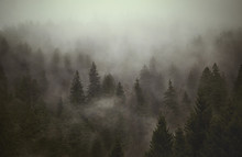 TREES IN FOREST DURING FOGGY W...