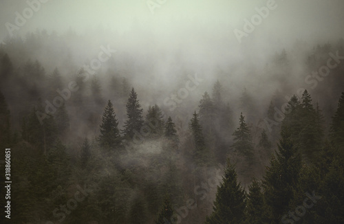 Obraz TREES IN FOREST DURING FOGGY WEATHER - fototapety do salonu