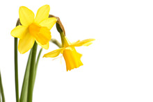 Daffodils Close Up, Isolated On White Background