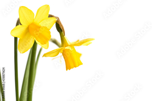 Daffodils close up, isolated on white background Poster Mural XXL