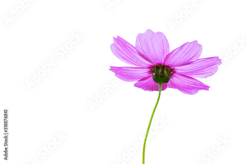 Purple cosmos flowers on a white background. Wallpaper Mural