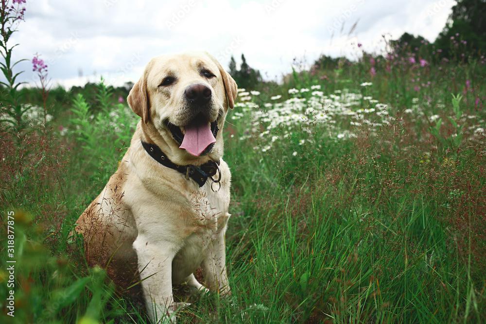 Fototapeta Happy big dog having relax on green meadow at nature