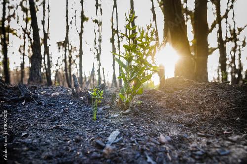 Photo Bushfire regrowth from burnt bush