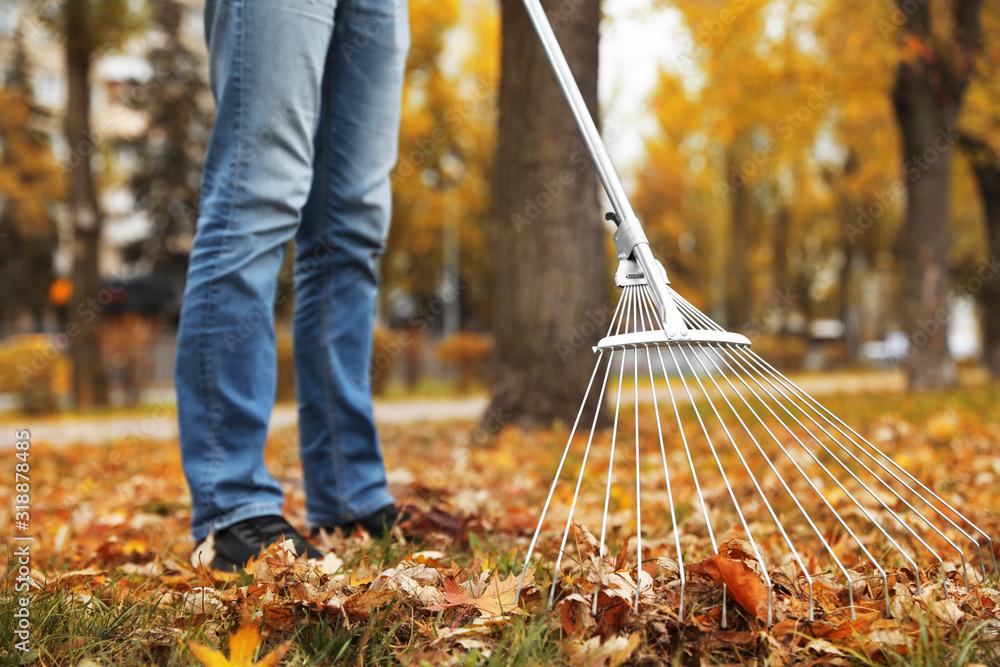 Fototapeta Person raking dry leaves outdoors on autumn day, closeup