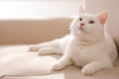 canvas print picture Cute white cat on sofa at home