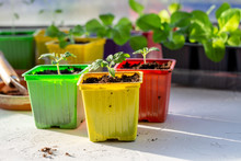 Tomato Seedling In Colorful Pl...