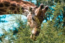 Eating Giraffe Close Up In Kruger National Park, South Africa