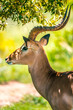 canvas print picture - Beautiful Impala in the wilderness of South Africa