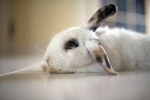 Rabbit Relaxing On The Floor A...