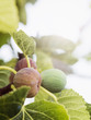 canvas print picture - Organic Figs on a Branch. Southern Spain.