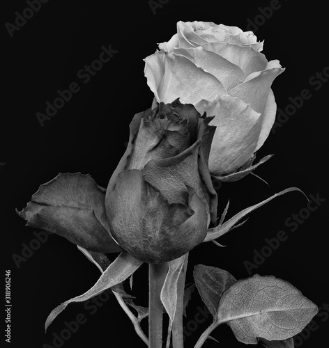 Fototapety, obrazy: Vintage paintig style dark gray and white  rose blossom pair monochrome macro with leaves isolated on black background
