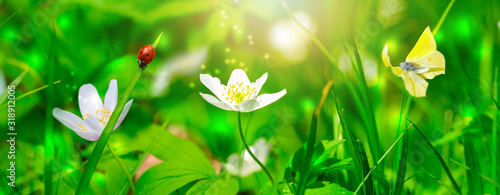 Dreamy white spring anemone flower bloom, grass, ladybug, butterfly close-up against sunlight panorama Fototapeta
