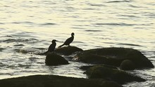 Double-crested Cormorant Sitting On A Rock, Seaside