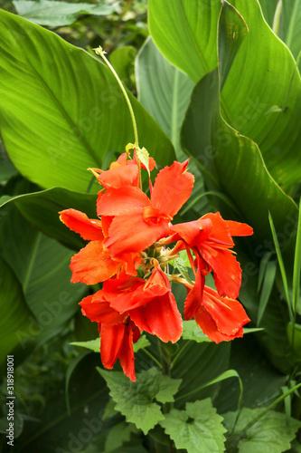 Photo Artistic portrait photo of a orange Canna Indica flower with dark blurry background