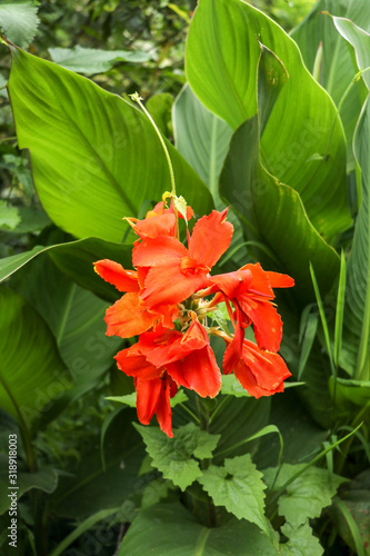 Artistic portrait photo of a orange Canna Indica flower with dark blurry background Canvas Print
