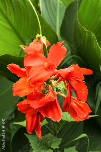 Artistic portrait photo of a orange Canna Indica flower with dark blurry background Wallpaper Mural
