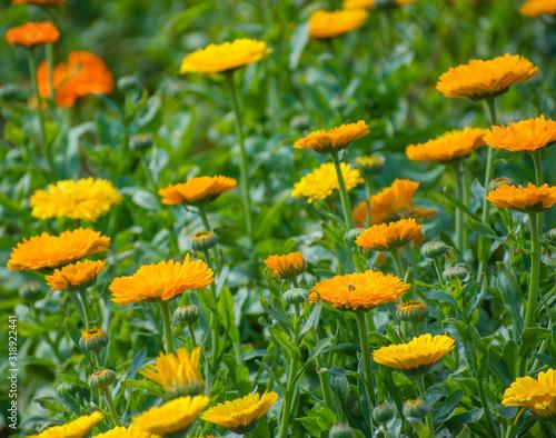 Photo Yellow pot marigold flower garden