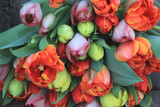 Fototapeta Tulips - Red and orange tulips