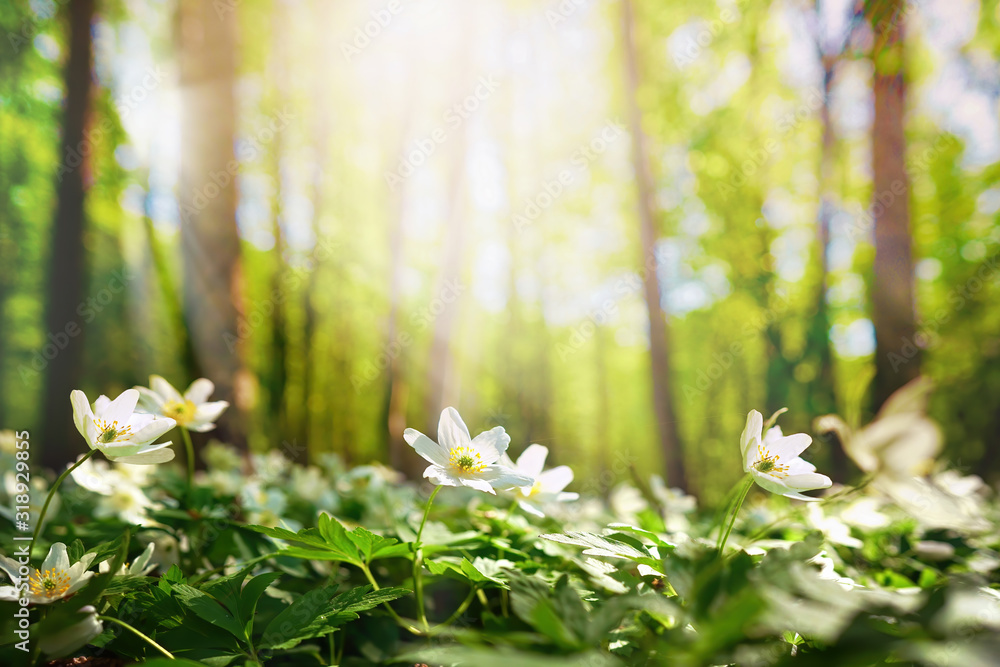 Fototapeta Beautiful white flowers of anemones in spring in a forest close-up in sunlight in nature. Spring forest landscape with flowering primroses.