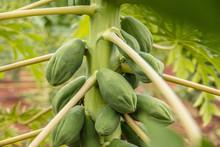 Close-Up Of Papaya Growing On Plant