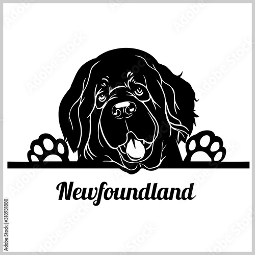 Newfoundland Dog Breed - Peeking Dogs - breed face head isolated on white Wallpaper Mural