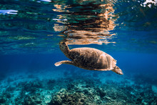 Sea Turtle Swimming Above A Coral Reef, Closeup View