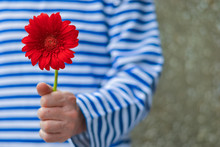 A Man In A Striped T-shirt With A Red Gerbera. Women's Day Concept. A Man With A Red Flower. Be My Valentine. Blurred Background.