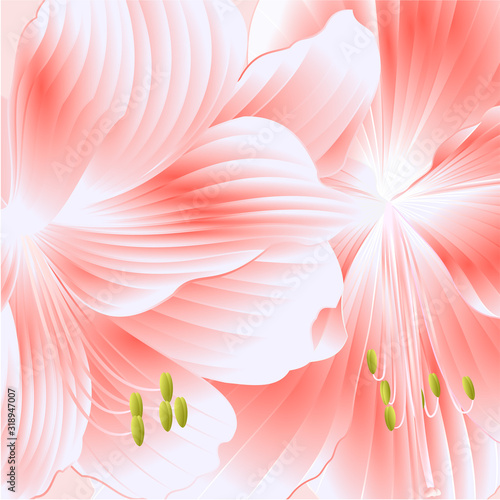 Fototapeta Detail elegant blooming  Amaryllis pink flowers  detailed natural drawing of gorgeous cultivated flowering garden plant vintage vector illustration editable hand draw obraz