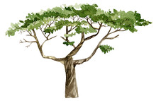 Watercolor Hand Painted Nature Tree Isolated On White Background. Africa Green Illustration.  Forest Ecologic Element.