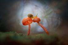 Close-Up Of Snail On Orange Mushrooms