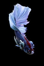 Close-Up Of Blue Siamese Fighting Fish Against Black Background