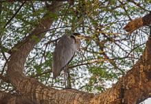 Grey Heron Stood On Branch In Tree