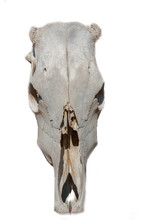 Ox Scull Isolated On A White B...