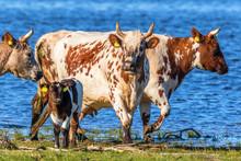 Cows With Calves On The Beach ...