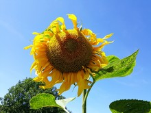 Close Up Of Blooming Yellow Su...