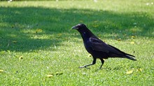 A Raven In The Garden On A Sun...