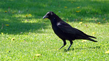 A Raven In The Garden On A Sunny Day