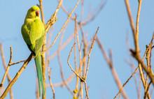 Beautiful Ring Necked Green Parakeet (genus Psittacula, Of The Family Psittacidae) Perched On A Bare Tree Branch With A Natural Clear Pale Sky Background.  Parakeets Are Not Native To UK,