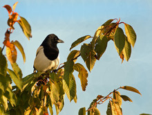 Magpie (pica Pica), Perched On...
