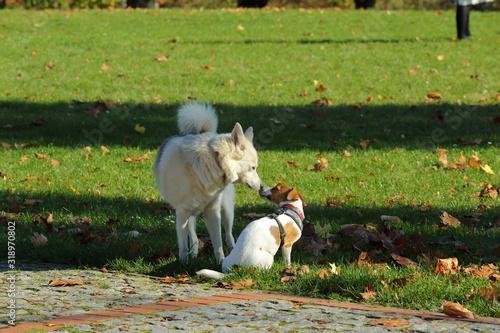 Fototapeta Uroczy widok pary bawiących się psów obraz