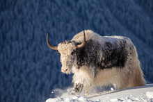 Wild Yak In The Mountains Of N...