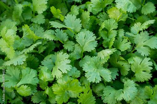 Fototapeta Organic Green Coriander in vegetable garden, Thai herb. obraz