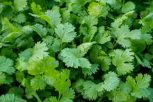 Organic Green Coriander In Vegetable Garden, Thai Herb.